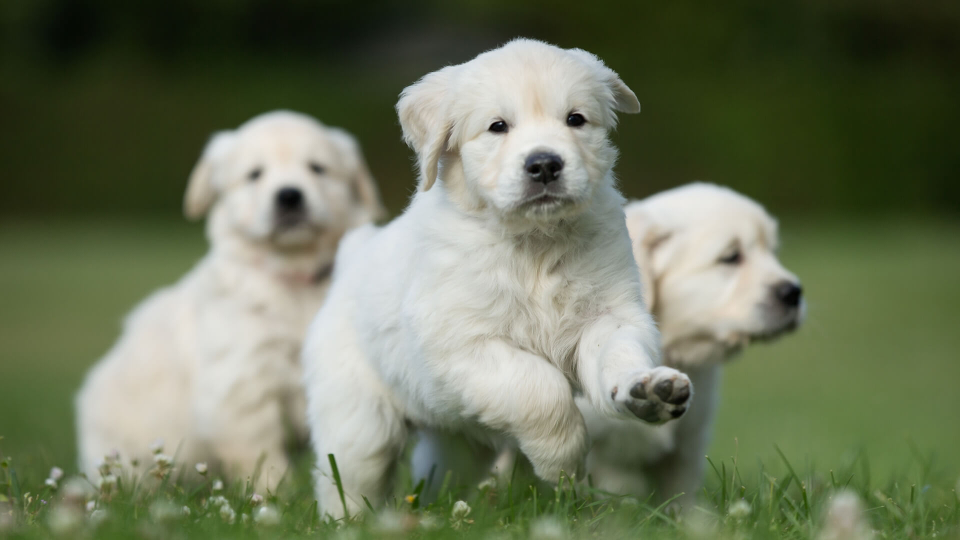 golden-retriever-cachorro