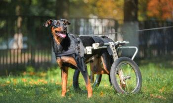 mejor-silla-de-ruedas-para-perro-con-discapacidad